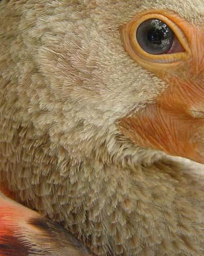 Ibis by sferguk