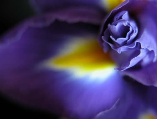 Iris Study by sferguk