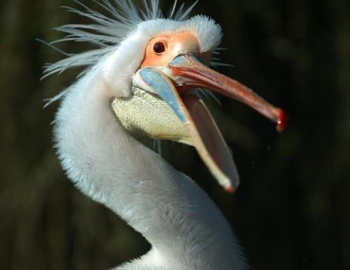 Whooping Pelican by ventmonkey