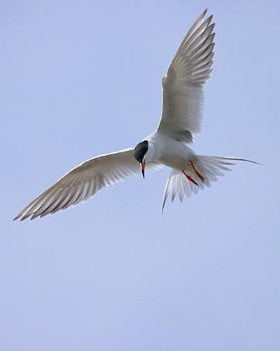 Tern by billma