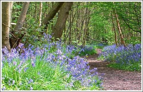Bluebell Path by jon1169