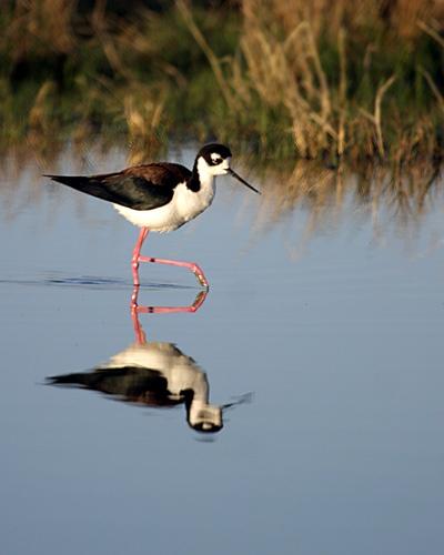 Black-necked Stilt by billma