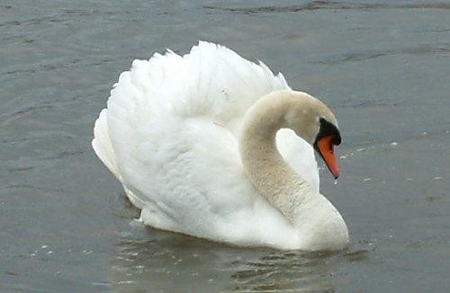 One Swan by daringdaphne