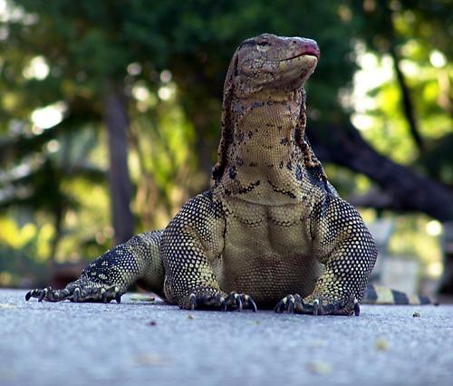 Lizard by markah