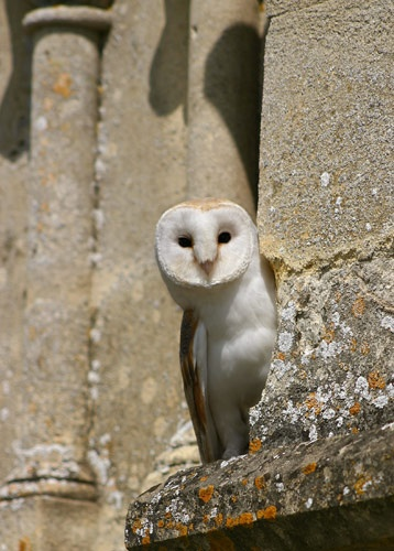 Barnowl by tigertot
