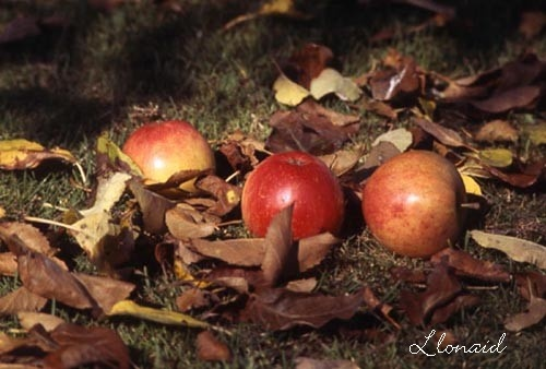 Orchard Fallers by llonaid
