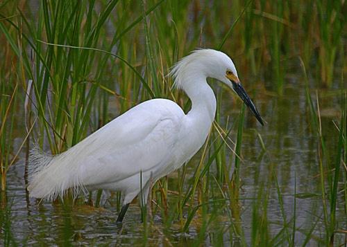 Snowy Egret by billma