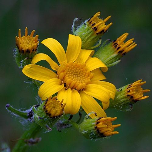 Wildflower 1 by billma