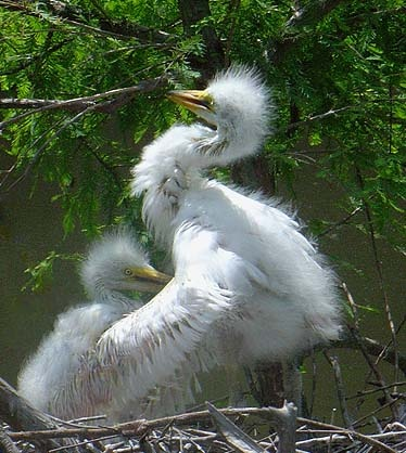 Baby Egrets 3 weeks later by notabimbo