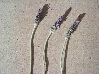 Lavender by dani2