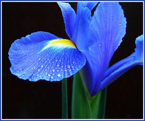 Iris Hues by vivo