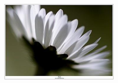 Daisy by EOSPETE