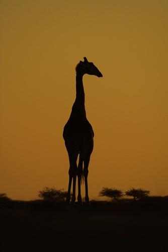 giraffe by EOSPETE