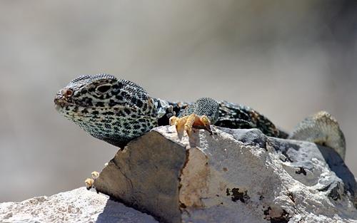 Great Basin Collard Lizard by billma