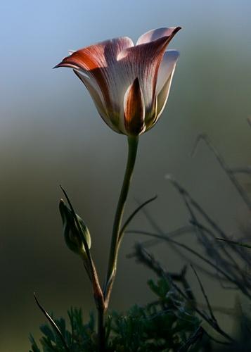 Sego Lily by billma
