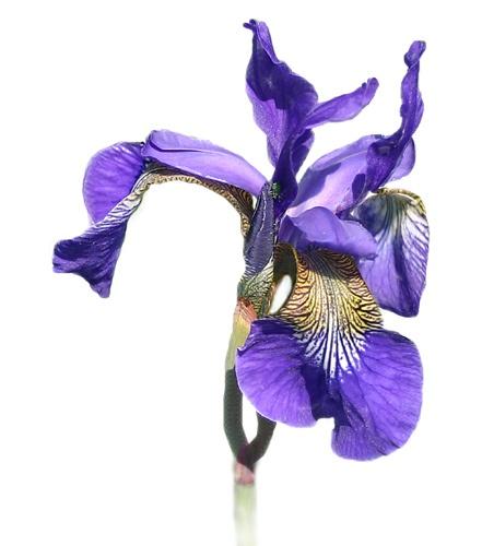 Iris reworked by tonyb55