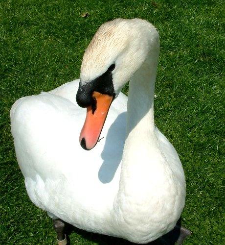 Swan again by daringdaphne