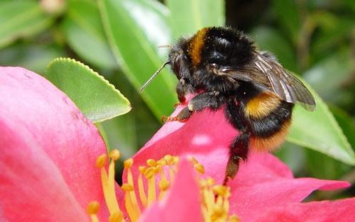 Bumblebee by suemack