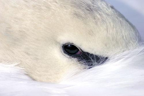 Swan by ojohnson