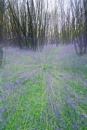 Bluebell wood - Zoom