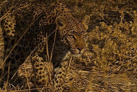 Stalking leopard by EOSPETE