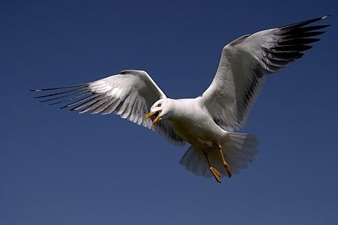 Lesser black backed gull by EOSPETE