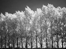 Backlit Trees IR