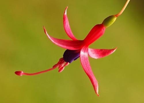 Fuchsia by jonjeds