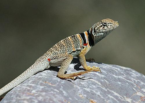 Collard Lizard by billma