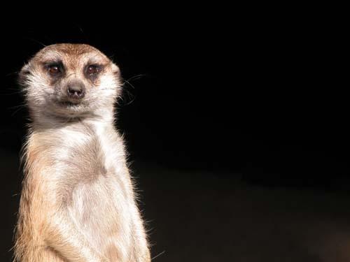 Meerkat by sferguk
