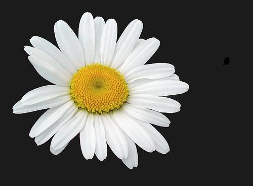 Daisy by nanpantanman