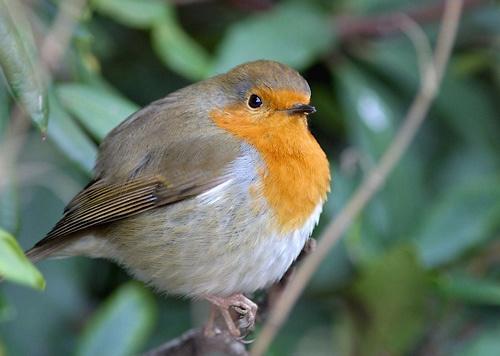 Fluffed up Robin by davewilliamson
