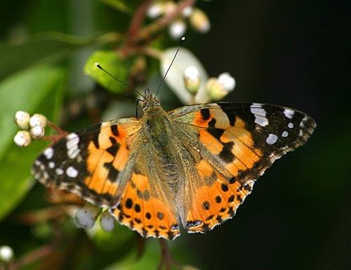 Butterfly? Moth? by loosecanon