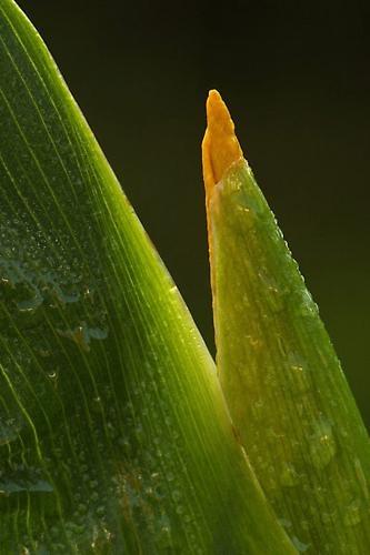 Emerging Yellow Iris by EOSPETE