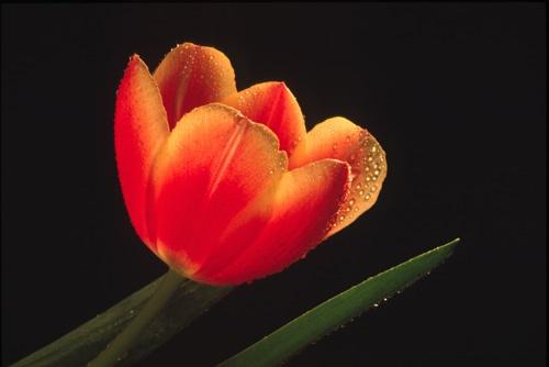 Tulip by neptune