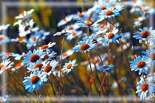 Daisy, daisy...... by IanA