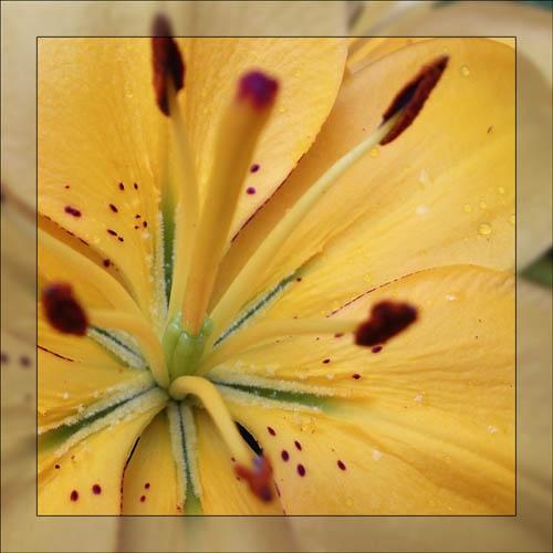 Tulip by dfawbert
