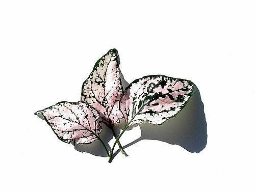 Pink leaves by dani2