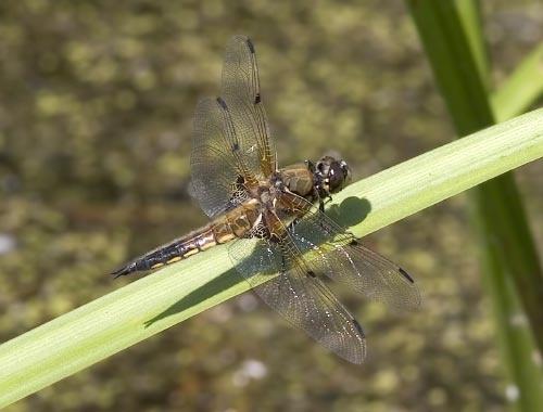 Dragonfly by danpen