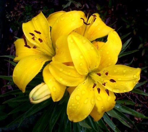 Yellow Gold by daringdaphne