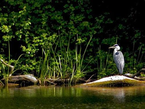 Grey Heron by AdrianTurner