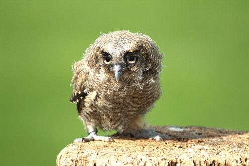 baby owl by echino