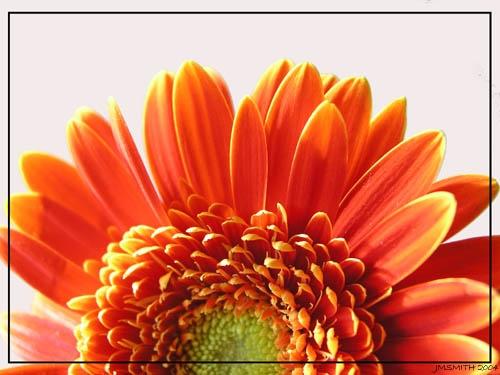 Orange Gerbera by janehewitt