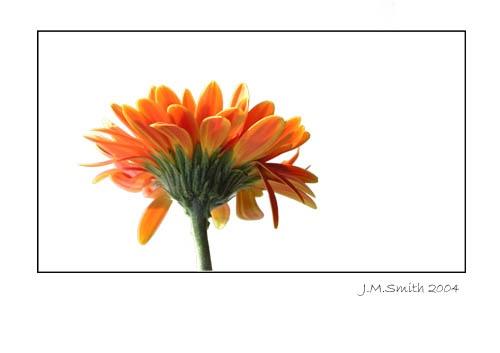 Another Gerbera by janehewitt