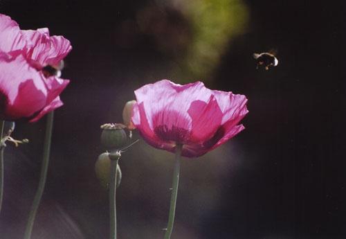 bizzy bee by agean