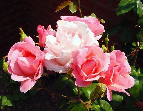 Roses by david632