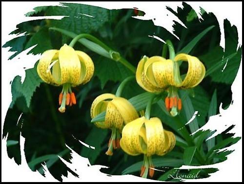 Turks Cap Lily by llonaid