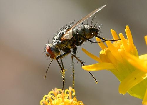 Tachinid Fly by billma