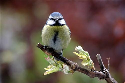 Blue Tit (At My Window) by tezza