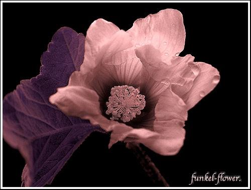 funkel-flower by funkeldink